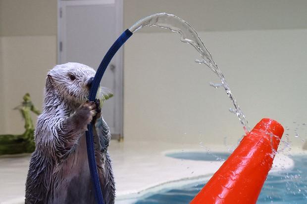 Lontra segura mangueira no aquário japonês