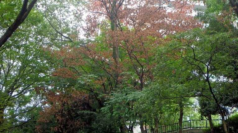 Árvore contaminada com fungo