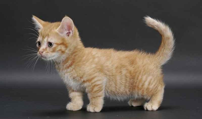 Gato laranja Munchkin