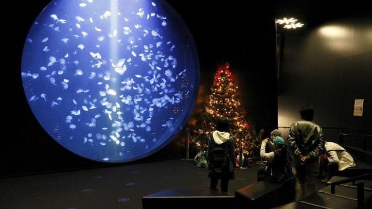 Kamo Aquarium pede doações por crowdfunding para manter águas-vivas alimentadas