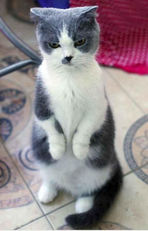 Gato de perna curta de pé cinza e branco