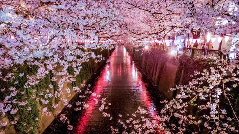 Críticos apontam o risco de uma abertura total em meio ao florescer das sakuras