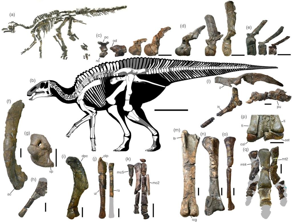 Fosseis e partes do dinossauro Izanagii