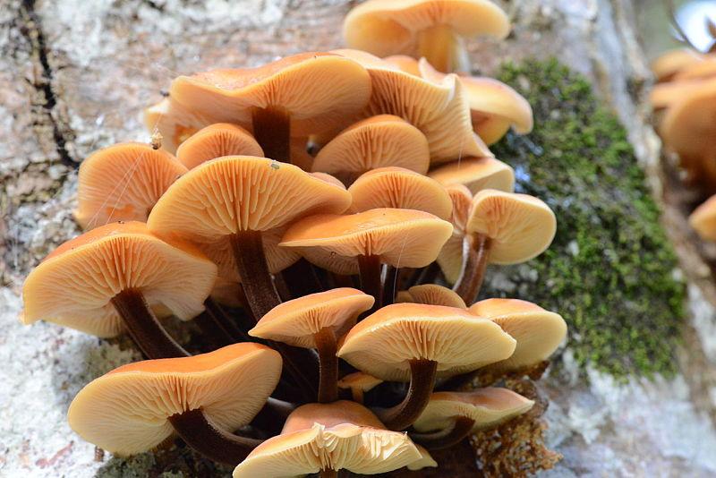 Cogumelo enoki na natureza - hastes curtas, coloração escura e chapeu maior